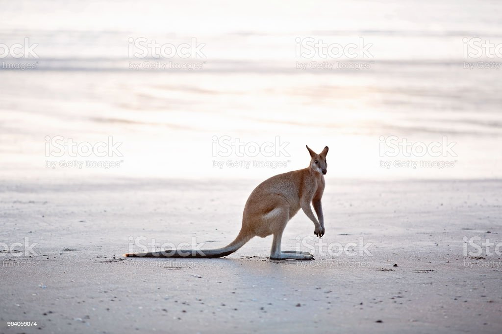 Lone Wallaby On The Beach At Sunrise - Royalty-free Animal Stock Photo