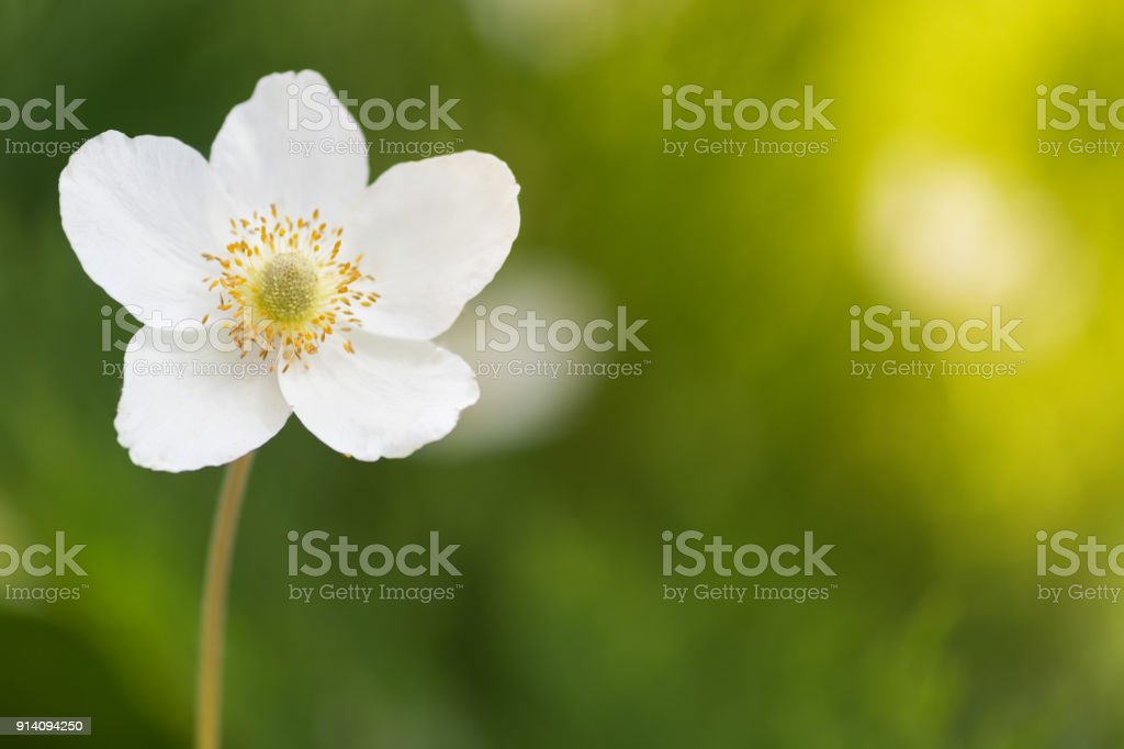 A lone white anemone flower on a blurred green background. Selective focus stock photo