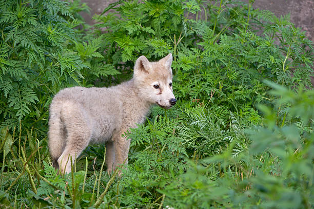Lone wolf pup stock photo