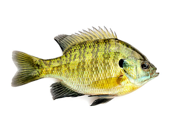 Lone yellow and black colored sunfish over white background stock photo