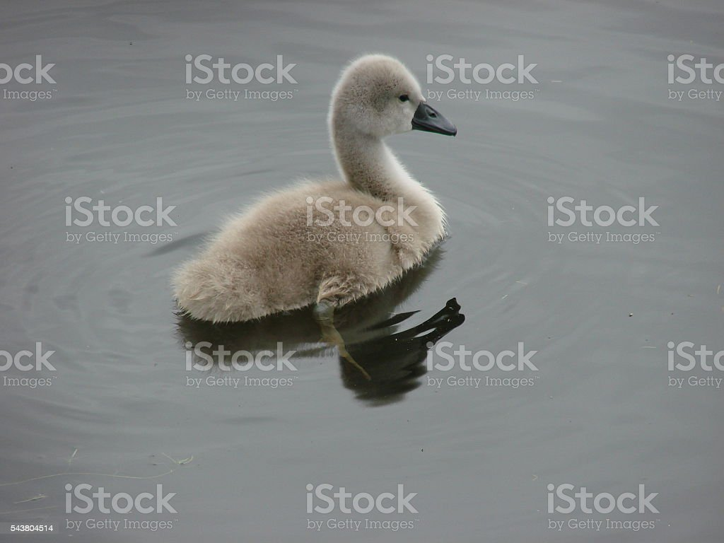 Lone young cygnet stock photo