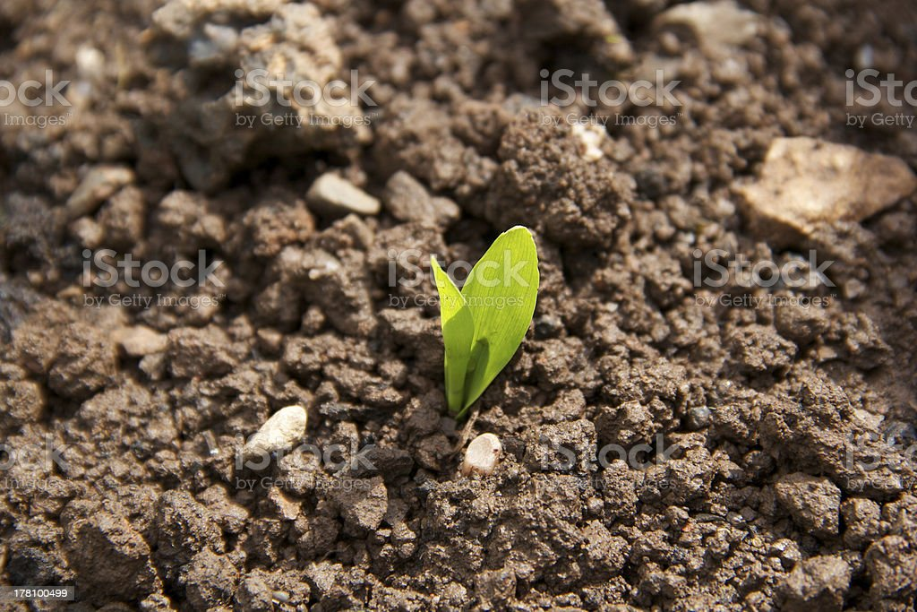 lone young seedling germinating stock photo