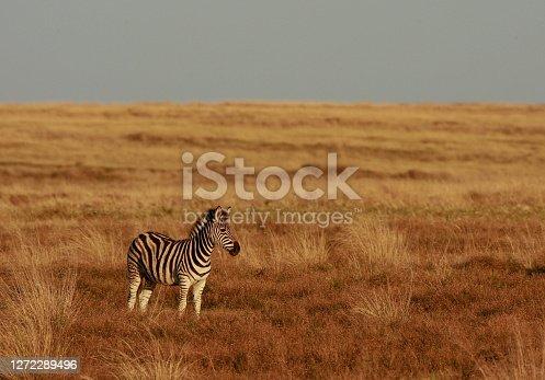A lone zebra in a in the savannahs of South Africa