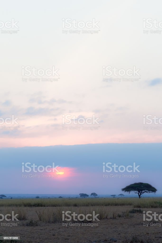 Lonely acacia at sunset. Amboseli, Africa zbiór zdjęć royalty-free