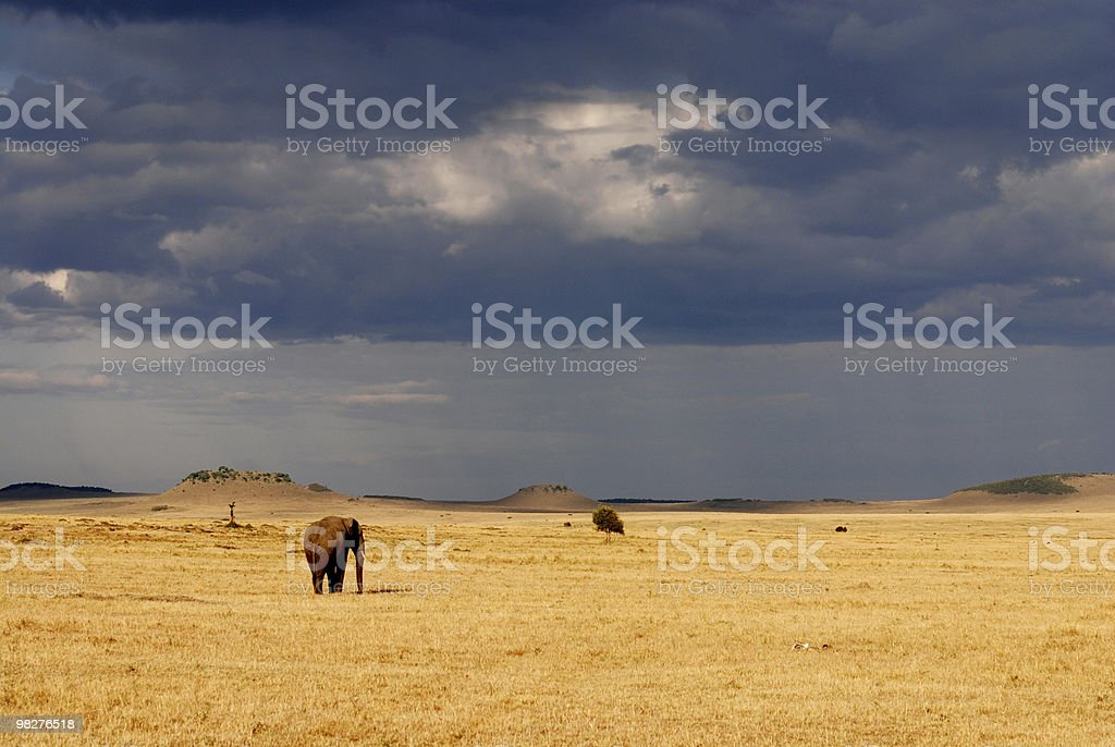 Lonely african elephant in the serengeti plain just before rain royalty-free stock photo