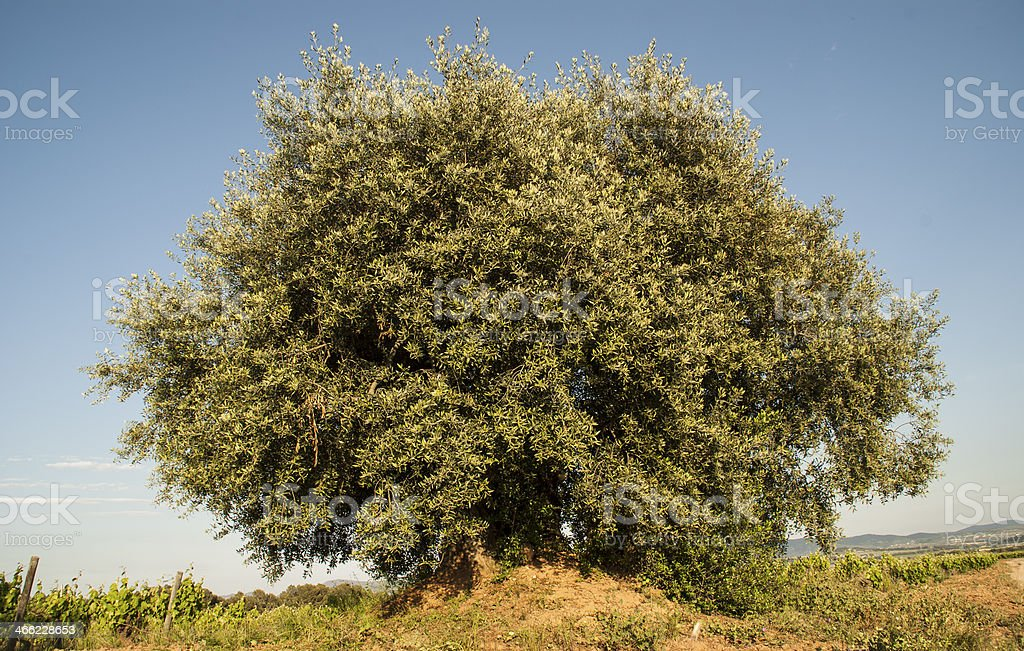 lonely ancient olive tree stock photo