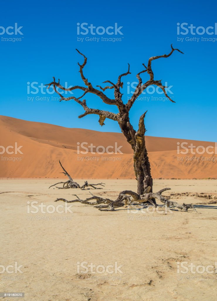 Lonely and dead tree in Deadvlei, with Dune 7 stock photo