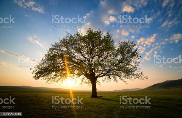 Photo of Lonely and old oak on meadow at sunset
