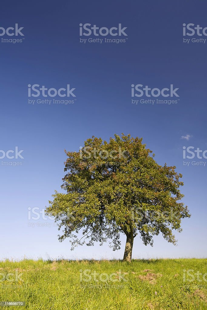 lonely apple tree royalty-free stock photo
