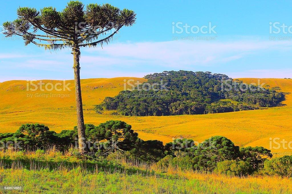Lonely Araucaria pine tree, Southern Brazil estancia countryside stock photo