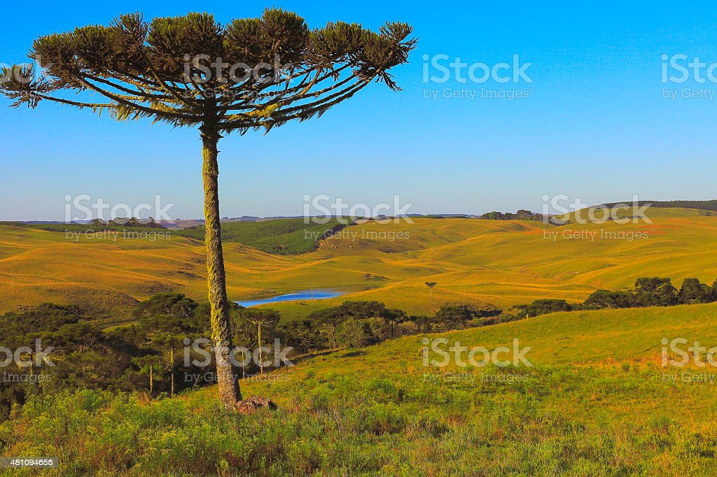 Lonely Araucaria pine tree, Southern Brazil, Parana stock photo