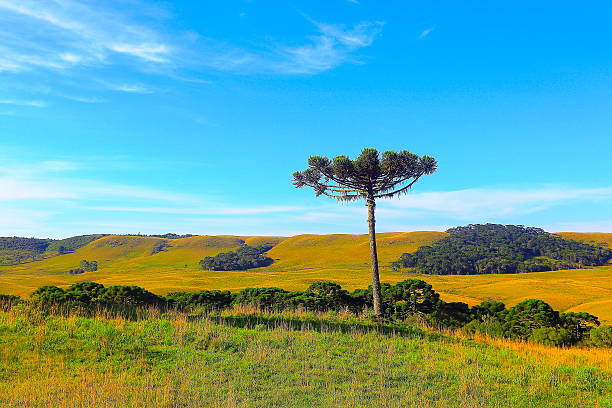 solitário araucária pinheiro nascer do sol, no sul do brasil, o campo gramado - rio grande do sul - fotografias e filmes do acervo