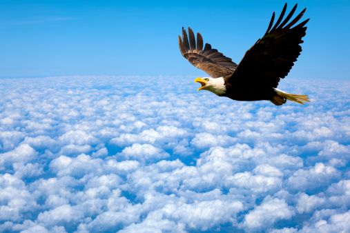 Lonely At The-Top; Bald Eagle King of The Sky