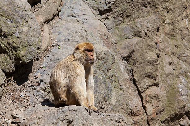 solitude singe magot (macaca sylvanus) sur une falaise - singe magot photos et images de collection