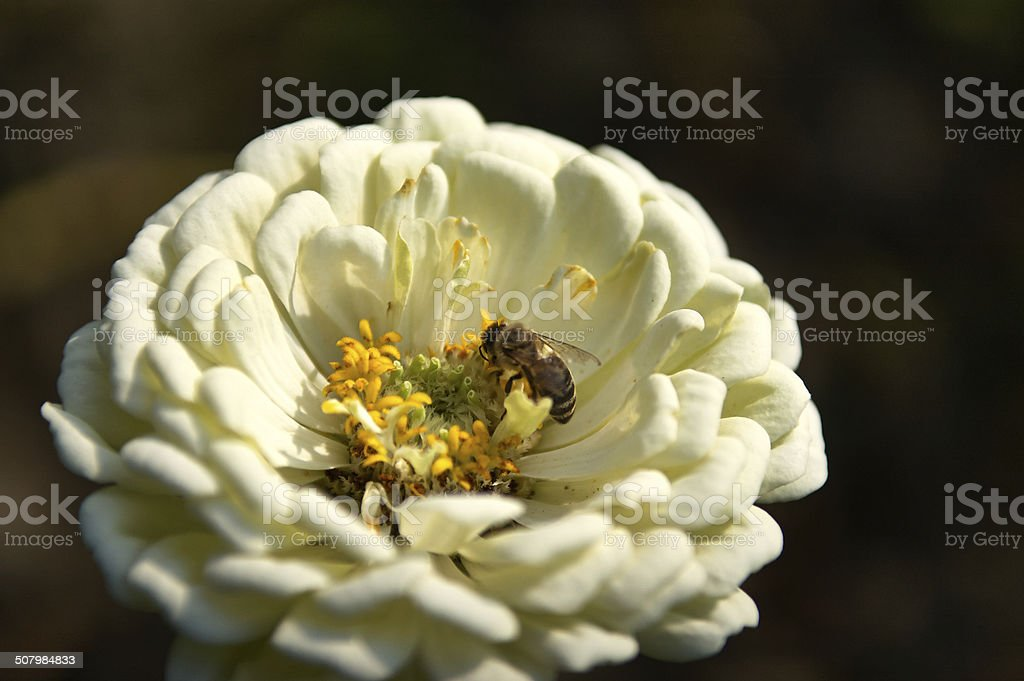 Lonely bee on a white chrysanthemum stock photo