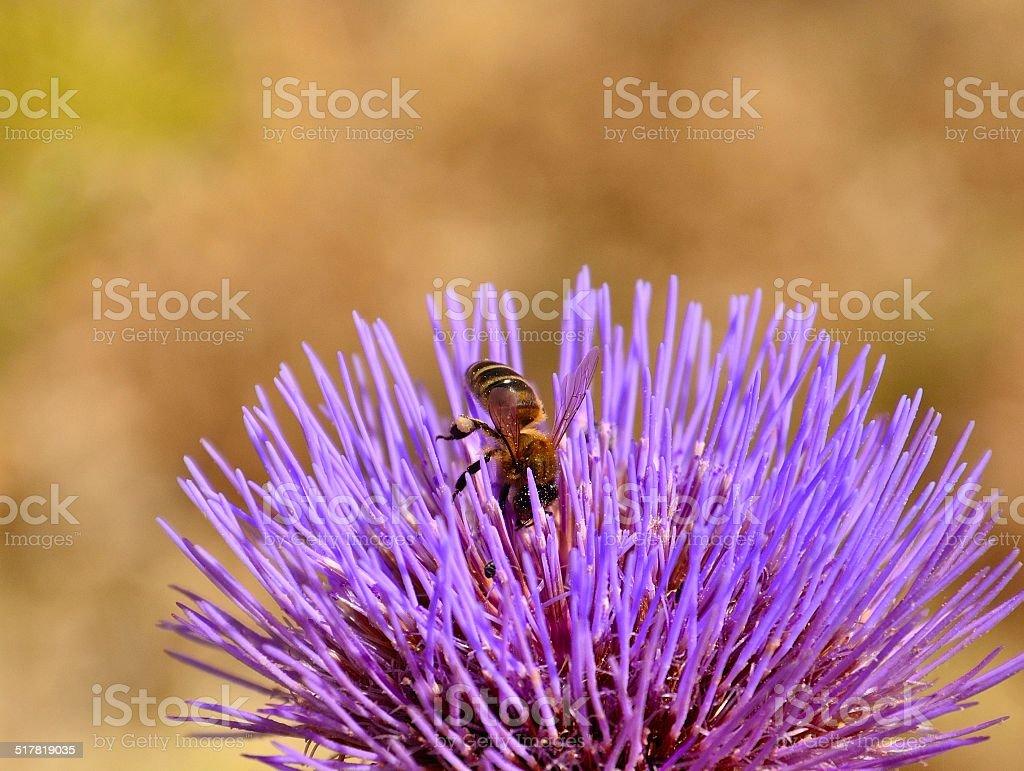 Lonely bee on splendid wild artichoke flower stock photo