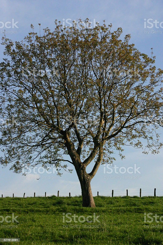 Lonely beech on a pasture stock photo