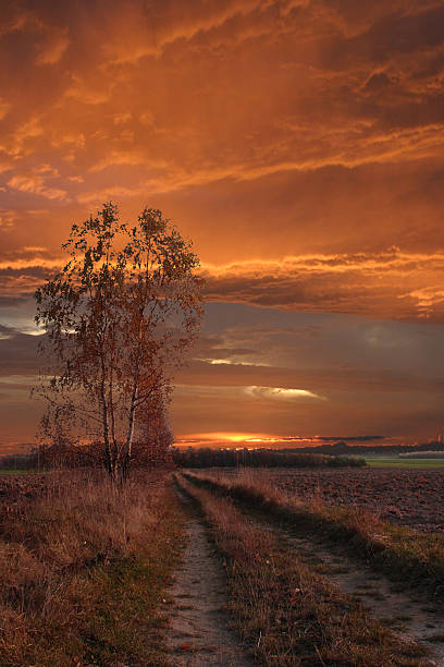 lonely birch at sunset
