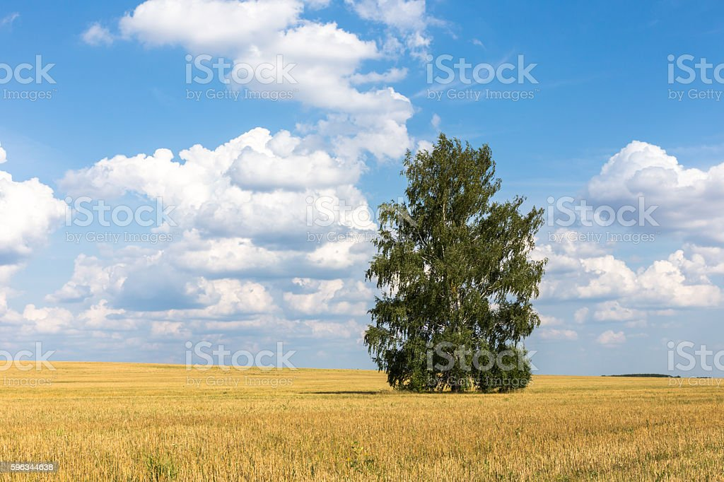 Lonely birch in a field. Landscape royalty-free stock photo