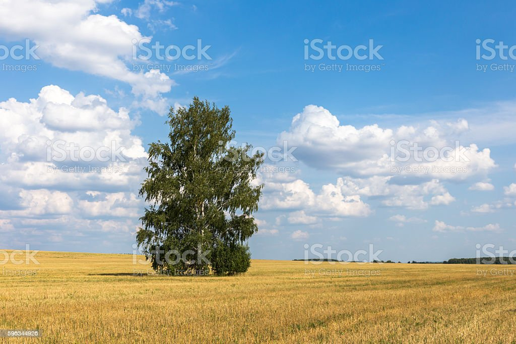 Lonely birch in a field. stock photo