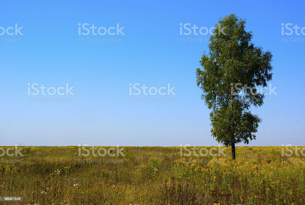 Lonely birch royalty-free stock photo