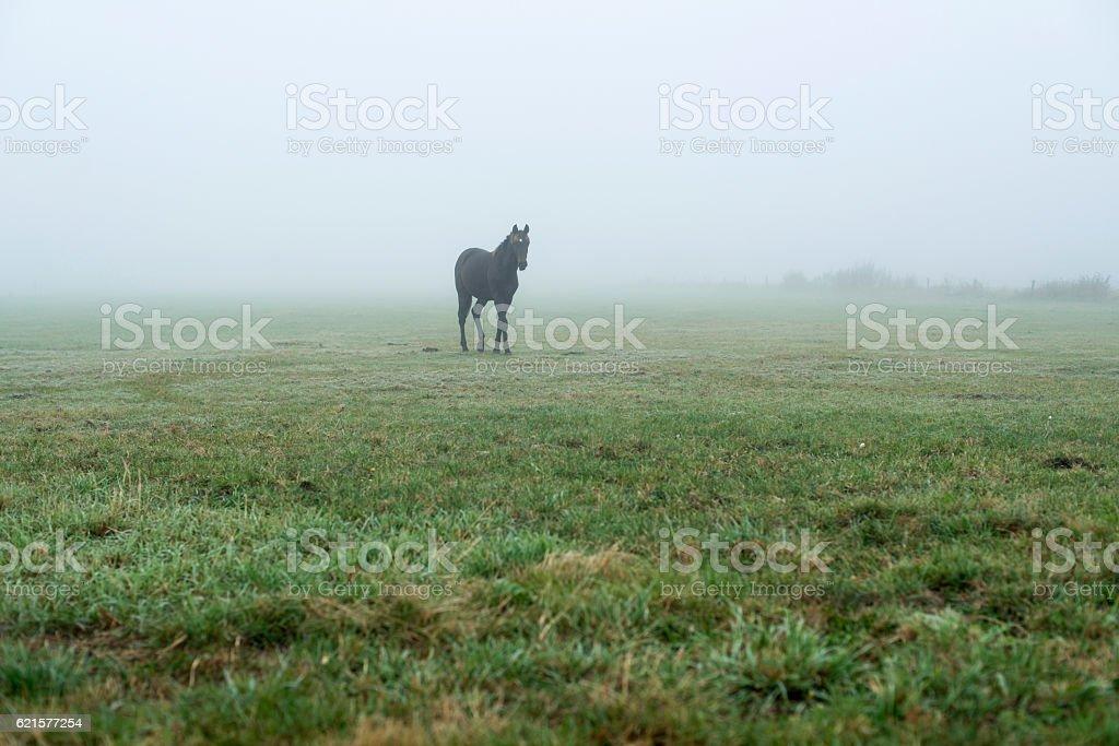 Lonely black horse in misty meadow. Geesteren. Achterhoek. Gelderland. photo libre de droits