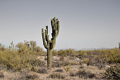 One lonely Saguaro Cactus in the Arizona desert.