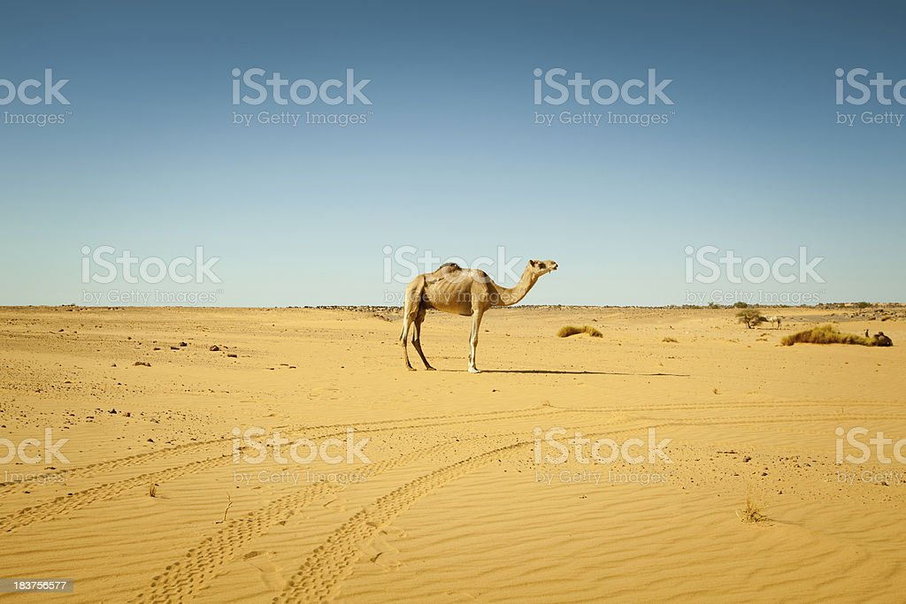 Lonely camel in Libyan desert royalty-free stock photo