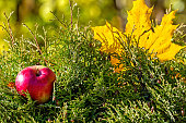 Lonely colorful maple leaf and red apple lying on a moss. Autumn concept.