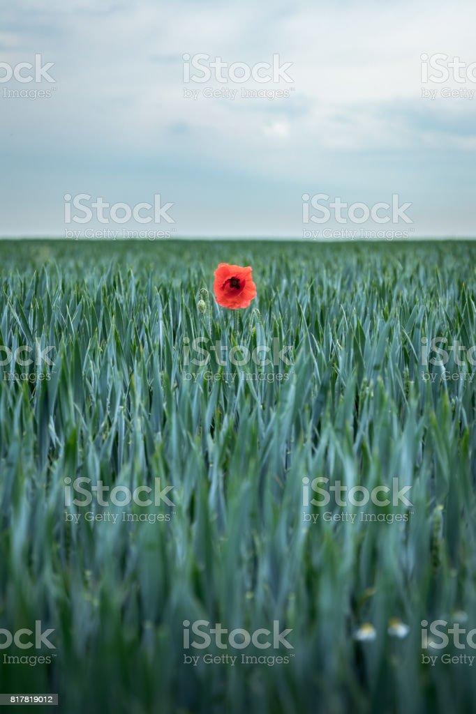 Einsames Klatschmohn zwischen dem Korn. – Foto