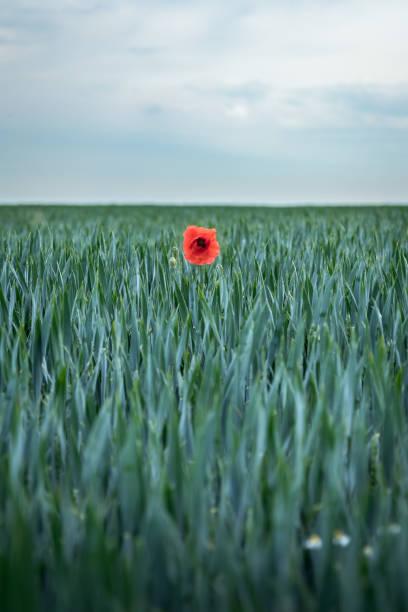 poppy de milho solitário entre os grãos. - standing out from the crowd (expressão inglesa) - fotografias e filmes do acervo