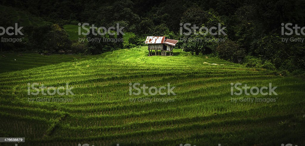 Lonely cottage in fresh green Asian rice field stock photo