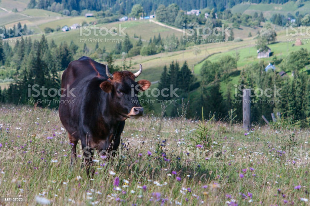 A lonely cow grazing in a meadow with flowers and grass stock photo