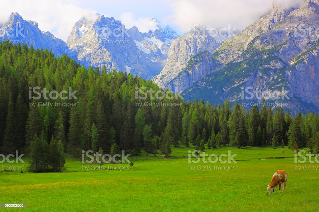 Lonely Cow grazing – livestock in Idyllic dramatic landscape: Mountains of Northern Italy Dolomites alps at sunrise, near Cortina d'Ampezzo stock photo
