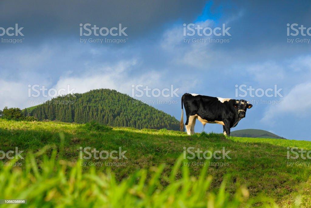 Einsame Kuh, Insel Sao Miguel - Azoren - Portugal – Foto