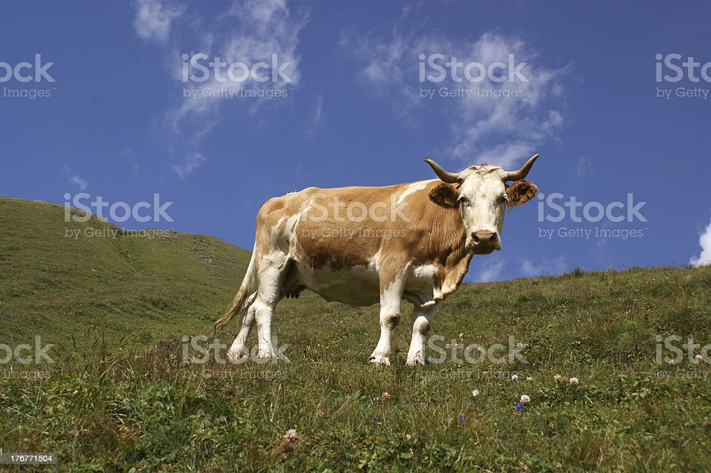 Lonely cow royalty-free stock photo
