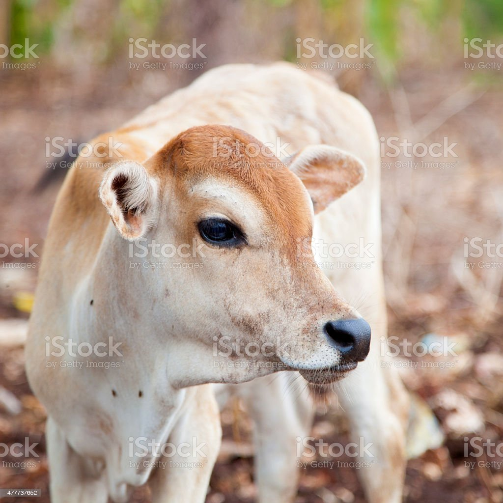 lonely cow stock photo