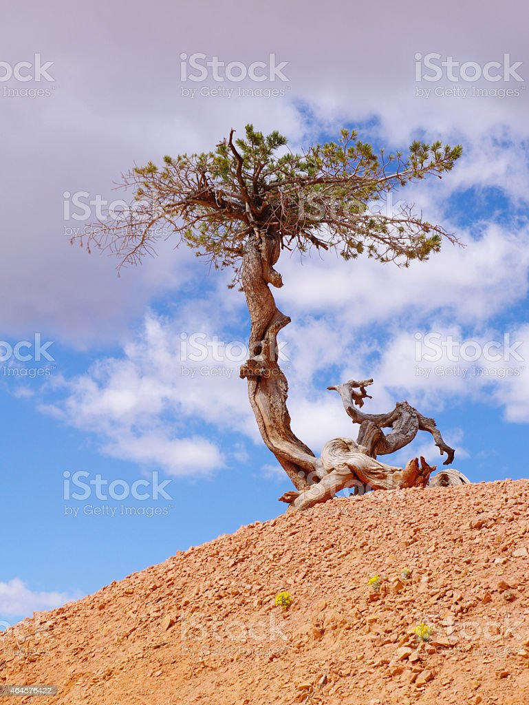 Lonely crooked tree in Bryce Canyon National Park stock photo
