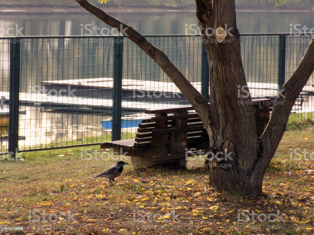 Lonely crow walking by the wooden bench in the city park stock photo