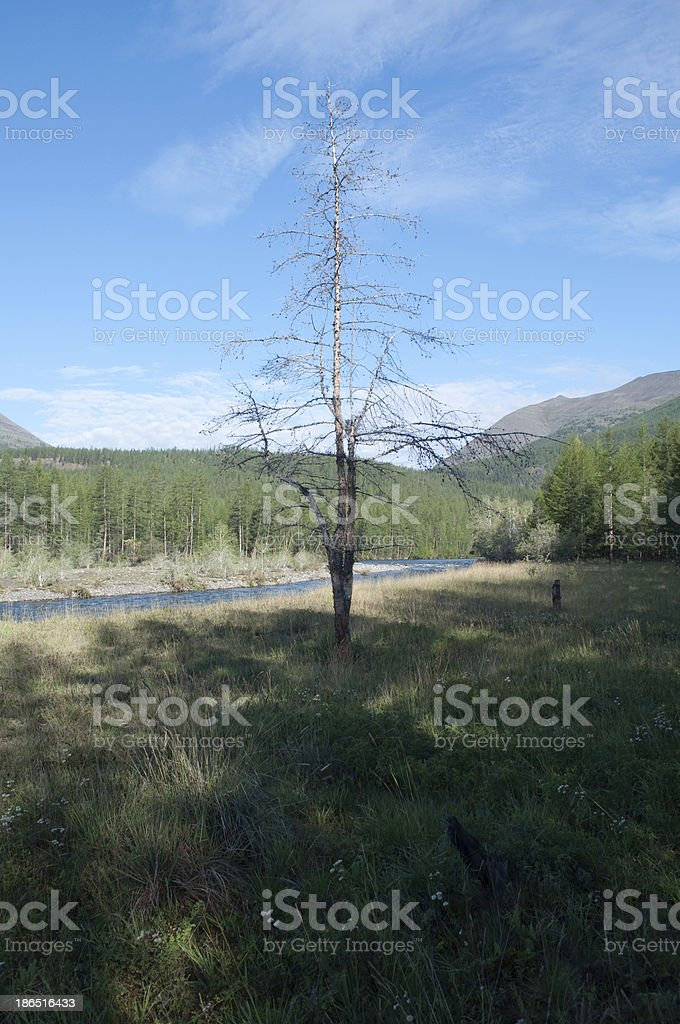 Lonely dry larch royalty-free stock photo