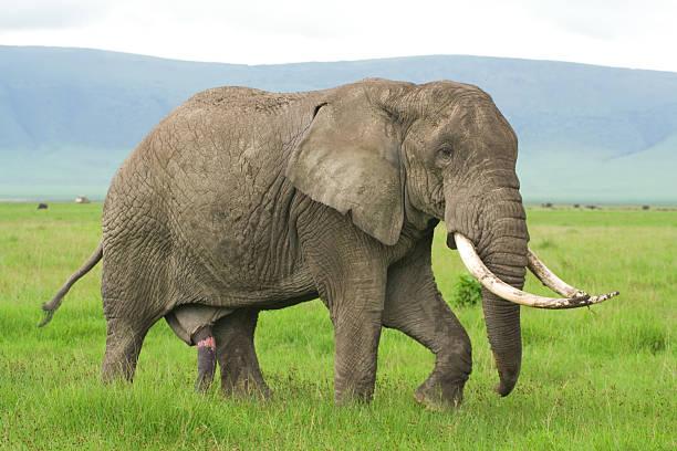 lonely elephant walking along a savannah stock photo