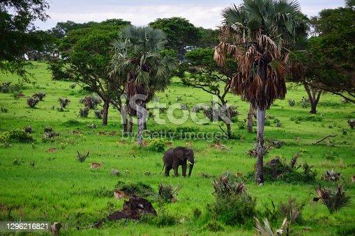 lonely elephant walks in the savannah next to trees, Uganda Safari