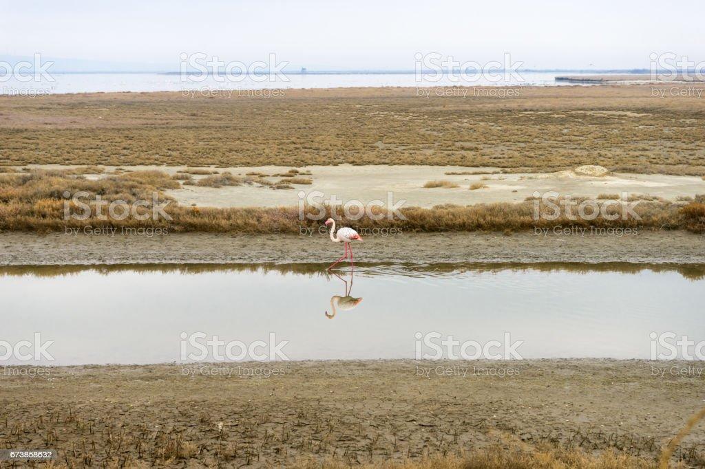 Flamingo solitaire dans le delta du fleuve Evros, Grèce photo libre de droits