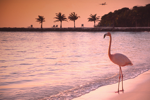 Lonely Flamingo on a solitary beach  on the island of Aruba in the southern Carribean