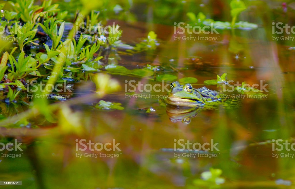 Lonely Frog stock photo
