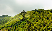 One huge tree dominating others. Mountain forest in Southern China.