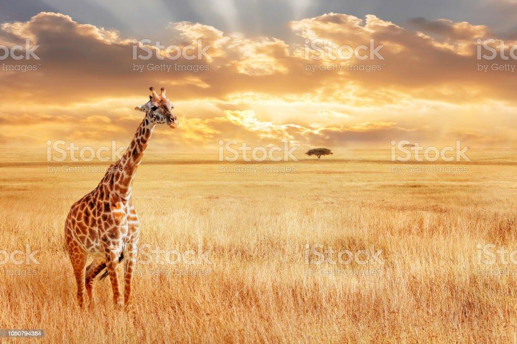 孤獨的長頸鹿在非洲大草原。非洲的野生性質。藝術非洲形象。 - 免版稅側影圖庫照片