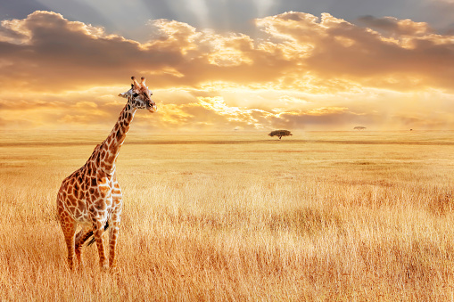 istock Lonely giraffe in the African savannah. Wild nature of Africa. Artistic African image. 1050794384