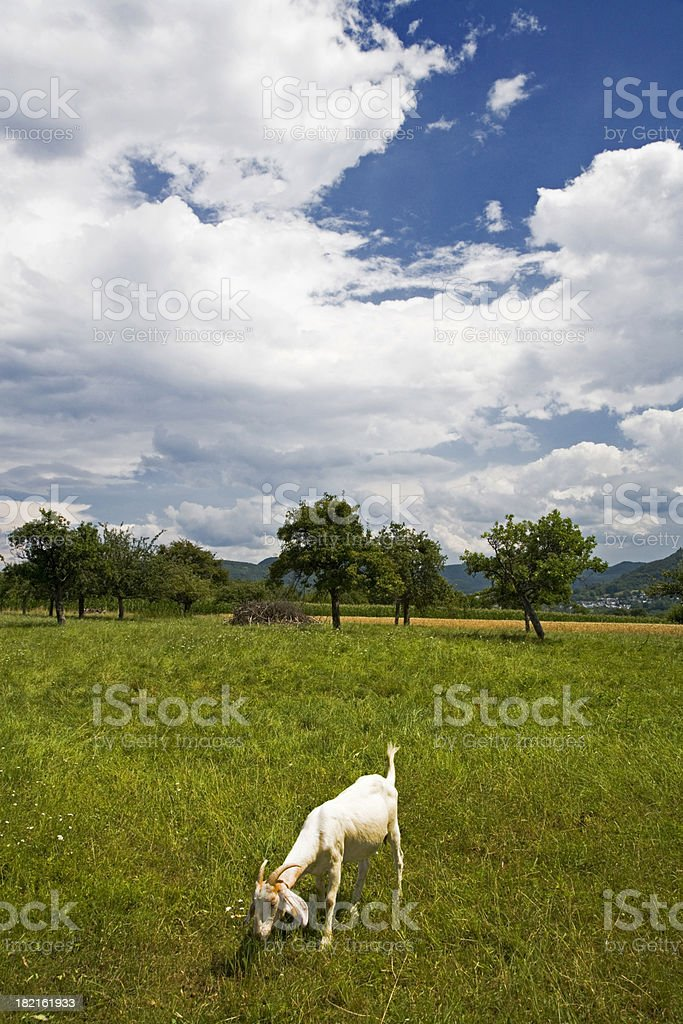 Lonely Goat Summer Landscape royalty-free stock photo