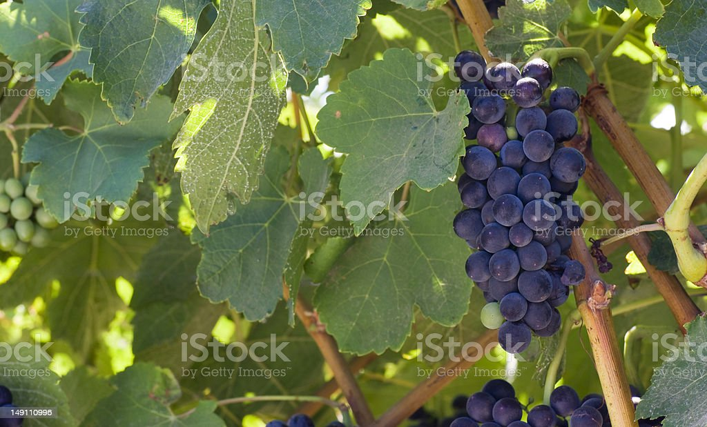 Lonely Grape Cluster Leafy Fruit Food Plant Ready to Harvest stock photo